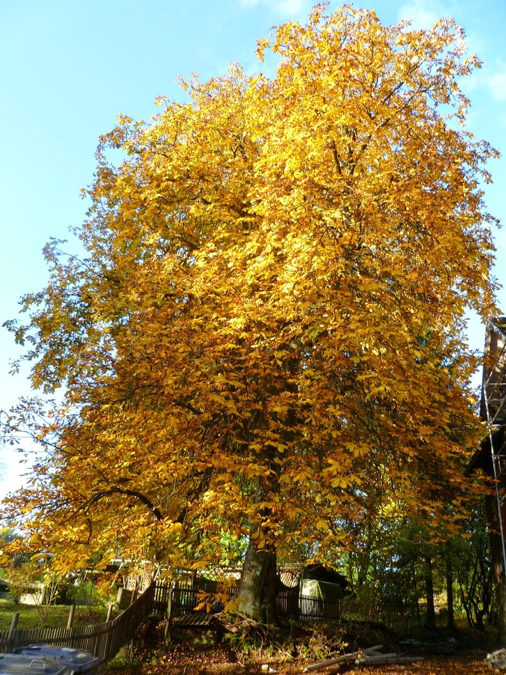 Monumentale kastanje in de herfst