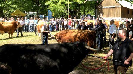 Stier op Stünzelfest